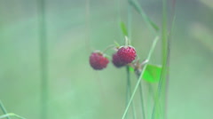 Wild Strawberry into the wild3 Stock Footage