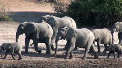 Elephants walk past in small herd Stock Footage