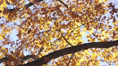 Beautiful autumn leaves of oak lit by the sun's rays are shaken by the wind Stock Footage