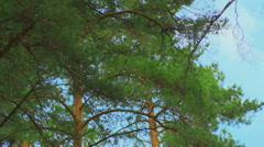 Crown of trees in the pine forest. Wind - stock footage
