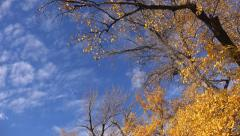 Autumn leaves falling from poplar treetops - stock footage