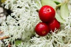 Cowberry (foxberry,lingonberry) Stock Photos
