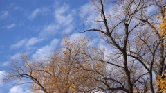 Stock Video Footage of Autumn leaves falling from poplar treetops