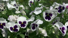 Flowers on a bed of pansies Stock Footage