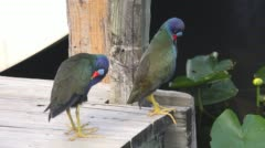 American purple gallinule birds preening its feathers at the dock - stock footage