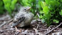 Stock Video Footage of Little bird sits in the bushes and looks around