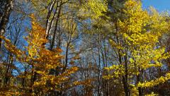 Falling Yellow Leaves - stock footage
