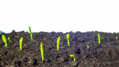 Pea sprouts grow, time-lapse Stock Footage