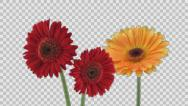 Stock Video Footage of Time-lapse of opening gerbera flowers with ALPHA channel