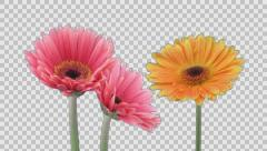Time-lapse of growing and opening gerbera flowers with ALPHA channel Stock Footage
