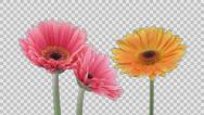 Stock Video Footage of Time-lapse of growing and opening gerbera flowers with ALPHA channel