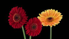 Time-lapse of opening gerbera flowers in RGB + ALPHA matte format (720p) - stock footage
