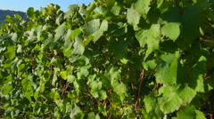 Champagne vineyards in the Cote des Bar area of the Aube department near Reims,  Stock Footage