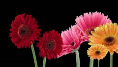 Time-lapse of opening gerbera flowers in RGB + ALPHA matte format Stock Footage