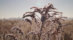 Hoarfrost on goldenrod Stock Footage