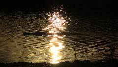 Alligator Swims Past Sunset Reflection - stock footage