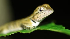 Oriental garden lizard Calotes versicolor nights Stock Footage