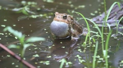 Male American Toad (Bufo americanus) calling - stock footage