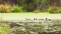 Wood Ducks Stock Footage