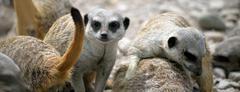 meerkat family in fota wildlife park - stock photo