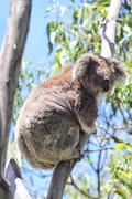 Koala (Phascolarctos cinereus) Stock Photos