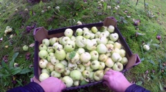 Organizing just picked green apples, at a malus domestica garden Stock Footage