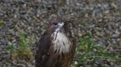 Red Tail Hawk Close Up Stock Footage