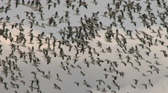 Stock Video Footage of Geese, Snow Geese, Birds, Fly, Flight, Flying
