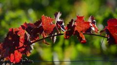 Vine Leaf Autumn-Travelling-Bordeaux Vineyard Stock Footage