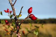 Stock Photo of Ripe rosehip berries