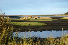 Cattles in a marshland - stock photo