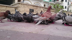 Flock of pigeons crowding central city square. Environmental pollution problem Stock Footage
