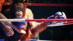 Monkey Boxing With Orangutans Stock Footage