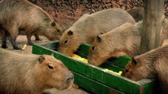 Capybara Group Eating From Tray Stock Footage