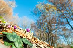 Cyclamen in the forest Stock Photos