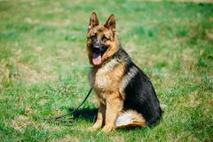 Beautiful Young Brown German Shepherd Dog Sitting In Green Grass Stock Photos