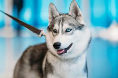 Close Up Head Young Husky Eskimo Dog With Multicolored Eyes - stock photo