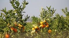 Mandarin orange branches - stock footage
