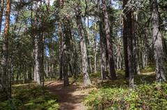 Scots Pine forest in Guadarrama Mountains, Segovia, Spain Stock Photos