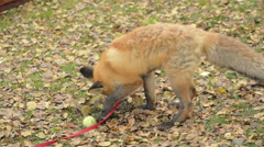 Fox Is Played With A Ball Stock Footage
