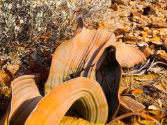Welwitschia Mirabilis in Namib Desert - stock photo