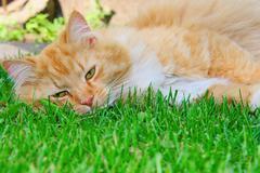 Orange lazy cat sleeping on green grass Stock Photos