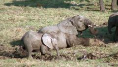 Young elephant rolling in mud Stock Footage