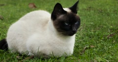 Siamese Cat on meadow - stock footage