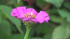 Pistil, leaves, stamen, stigma in pink flower macro, field, Insect 4k Stock Footage