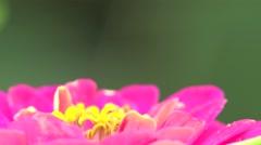 Stock Video Footage of Pistil, leaves, stamen, stigma in pink flower macro, field, Insect 4k