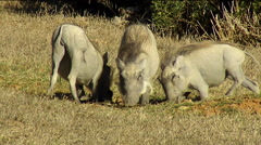 warthogs (Phacochoerus africanus) on knees eating grass - stock footage