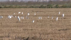 flock of egrets in a field - stock footage