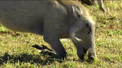 Warthog (Phacochoerus africanus) on knees eating grass Stock Footage