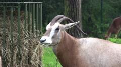 4k Arabian oryx in tourism animal park Stock Footage